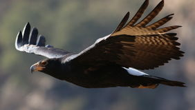 Verreaux`s Eagle Black Eagle in flight, Aquila verreauxii, at Walter Sis royalty free stock photography