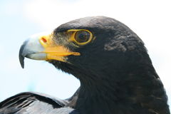 Verreaux's Eagle looking Stock Images