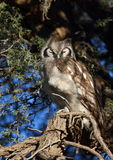 Verreaux's Eagle-owl Royalty Free Stock Images