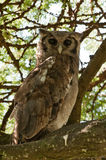 Verreaux's Eagle Owl Royalty Free Stock Photos
