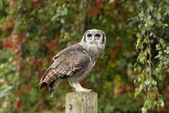 Verreaux& x27; s Eagle Owl Stockbilder