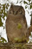 Verreaux's eagle-owl Royalty Free Stock Photography
