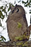 Verreaux's eagle-owl Stock Image
