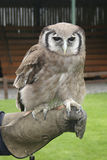 Verreaux's Eagle Owl, Bubo lacteus Stock Photo