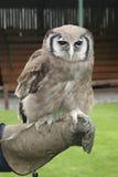 Verreaux's Eagle Owl, Bubo lacteus. Verreaux's Eagle Owl perched on falconers arm Stock Photo