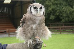 Verreaux's Eagle Owl, Bubo lacteus Stock Photography