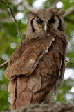 Verreaux's Eagle-Owl (Bubo lacteus) Stock Photo