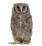 Verreaux's eagle-owl - Bubo lacteus Stock Photography