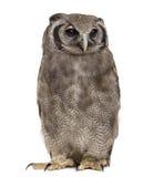 Verreaux's eagle-owl - Bubo lacteus Stock Photo