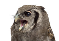 Verreaux's eagle-owl - Bubo lacteus Royalty Free Stock Photos