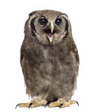 Verreaux's eagle-owl - Bubo lacteus. (3 years old) in front of a white background Stock Image