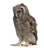 Verreaux's eagle-owl - Bubo lacteus. (3 years old) in front of a white background Stock Photos