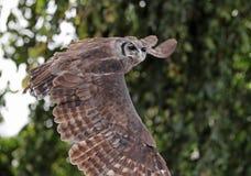 Verreaux ` s Eagle Owl i flykten royaltyfri fotografi