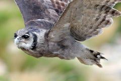 Verreaux ` s Eagle Owl i flykten royaltyfria bilder