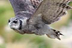 Verreaux-` s Eagle Owl im Flug lizenzfreie stockbilder