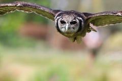 Verreaux-` s Eagle Owl im Flug Lizenzfreies Stockbild