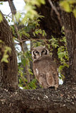 Verreaux's Eagle-Owl - Okavango Delta - Moremi N.P. Royalty Free Stock Images