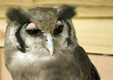 Verreaux's Eagle Owl Portrait stock image