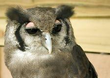 Verreaux's Eagle Owl Portrait Stock Image