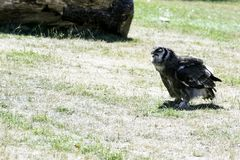 Verreaux` s Eagle-uil/Bubo-lacteus royalty-vrije stock foto's