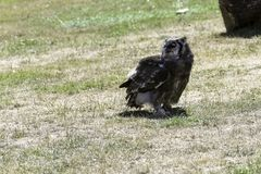 Verreaux` s Eagle-uil/Bubo-lacteus royalty-vrije stock afbeelding