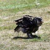Verreaux` s Eagle-uil/Bubo-lacteus die kip eten stock afbeelding