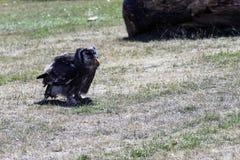 Verreaux` s Eagle-uil/Bubo-lacteus die kip eten royalty-vrije stock fotografie