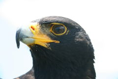 Verreaux's Eagle. The Eagle was at a Bird Sanctuary in the Drakensberg Stock Image