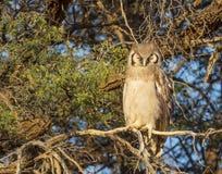 Verreaux-` s oder riesiger Eagle Owl Lizenzfreie Stockfotografie