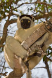 Verreaux's Sifaka. Wild Verreaux's Sifaka in Madagascar Stock Photos