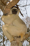 Verreaux's Sifaka. Wild Verreaux's Sifaka in Madagascar Royalty Free Stock Images