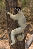 Verreaux's Sifaka. Wild Verreaux's Sifaka in Madagascar Stock Photography