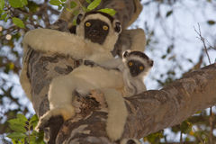 Verreaux's Sifaka stock photos
