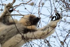 Verreaux`s Sifaka Lemur searching for food Royalty Free Stock Photography