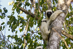 Verreaux's Sifaka (propithecus verreauxi) lemur, Madagascar Stock Photo