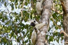 Verreaux's Sifaka (propithecus verreauxi) lemur, Madagascar Stock Images