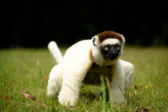 Verreaux Sifaka狐猴在马达加斯加 图库摄影