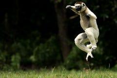 Verreaux Sifaka狐猴在马达加斯加 免版税库存图片