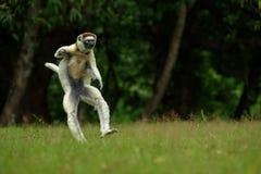 Verreaux Sifaka στη Μαδαγασκάρη Στοκ Φωτογραφίες