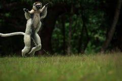 Verreaux Sifaka в Мадагаскаре Стоковое Изображение RF
