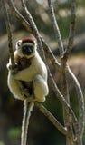 Verreaux Sifaka в Мадагаскаре Стоковая Фотография RF