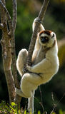 Verreaux Sifaka в Мадагаскаре Стоковая Фотография