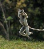 Verreaux Sifaka hopping bipedally in a forward and sideways movement in Madagascar. Verreaux Sifaka on the ground hopping bipdally in a forward and sideways Stock Image
