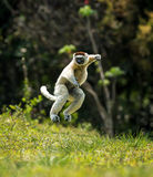 Verreaux Sifaka hopping forward and sideways in Madagascar. Verreaux Sifaka hopping bipedally in a forward and sideways movement..Very funny to watch.They only Royalty Free Stock Photography