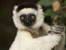 Soooo Precious. A Verreaux Sifaka Lemur image taken at Berenty Preserve, Madagascar royalty free stock photography
