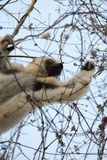 Verreaux` Sifaka Lemur searching for food Royalty Free Stock Photos