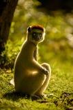 Verreaux Sifaka lemur w ranku słońcu, Madagascar Fotografia Royalty Free