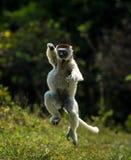 Verreaux Sifaka que salta bipedally en un movimiento delantero y oblicuo en Madagascar imagen de archivo
