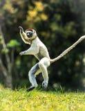 Verreaux Sifaka que salta bipedally en un movimiento delantero y oblicuo en Madagascar Fotos de archivo