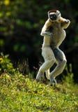 Verreaux Sifaka que salta bipedally en un movimiento delantero y oblicuo en Madagascar imagen de archivo libre de regalías